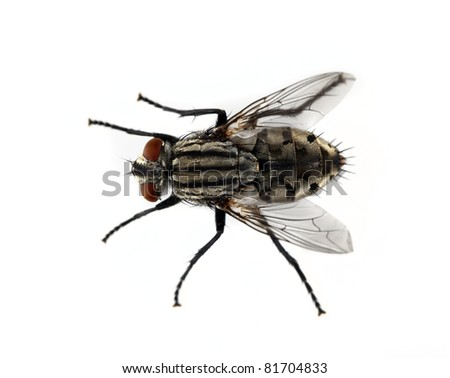 Fly on a solid white background.