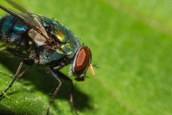 fly on green leaf,Macro view