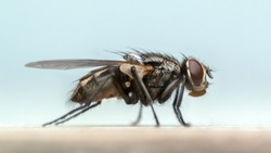 Fly on my Tabletop. Super-macro