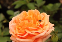 Fly on rose.