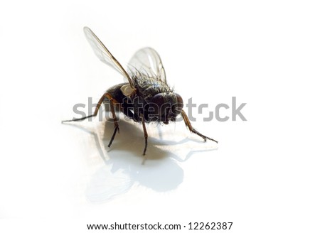 fly on white background