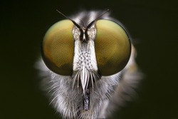 Fly Robber fly Long legged Fly