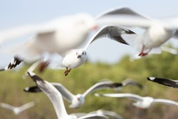 fly seagull in sky. birds immigration concept: