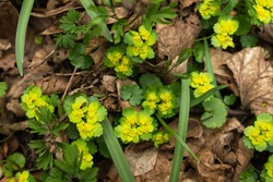 fly sits on flower, green yellow spring flowers in dry leaves, yellow-green leaves of young flowers in fallen dry leaves, yellow flowers, green grass and dried leaves in the forest, fly on the flower