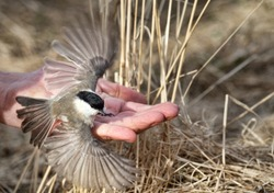 Fly, tomtit, fly. Marsh titmouse (Parus palustris) on the hand of a man, give the bird freedom, release a bird, let loose