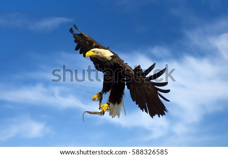 Stock Photo flying american eagle