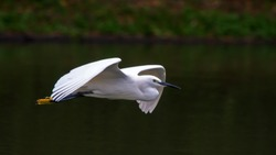 Flying and landing little egret in flight with blurry background, white colour bird fly side view and front view near river