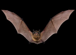 Flying animal little brown bat.  Isolated on black.