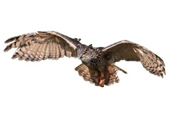 Flying/attacking owl isolated on white.