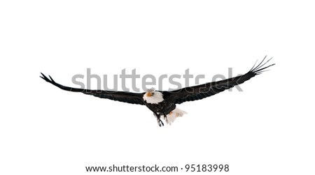 Flying Bald Eagle (Haliaeetus leucocephalus washingtoniensis). Isolated on white