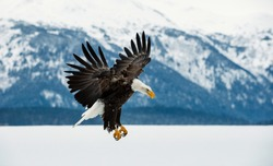 Flying bald eagle ( Haliaeetus leucocephalus washingtoniensis ) over snow-covered mountains. Winter Alaska. USA