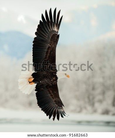 Flying Bald Eagle. Snow covered mountains. Alaska Chilkat Bald Eagle Preserve, Alaska, USA