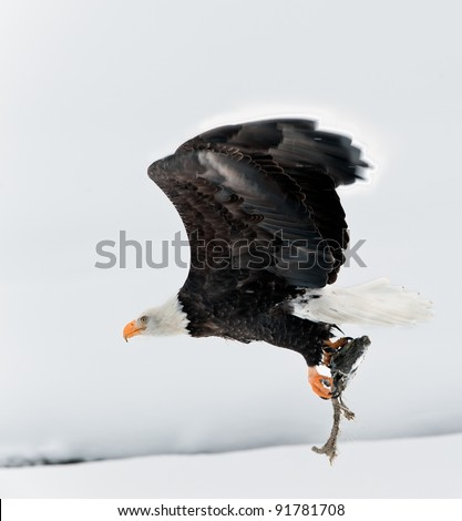 Flying Bald eagle with the fish clamped in claws.Haliaeetus leucocephalus washingtoniensis