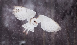 Flying barnowl in the snow