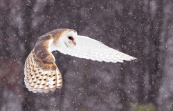 Flying Barnowl snow