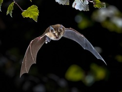 Flying bat hunting in forest. The Greater horseshoe bat (Rhinolophus ferrumequinum) occurs in Europe, Northern Africa, Central Asia and Eastern Asia. It is the largest of the horseshoe bats in Europe