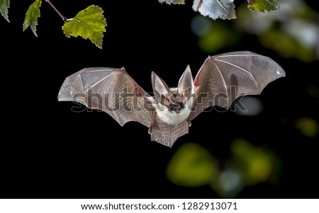 Flying bat hunting in forest. The grey long-eared bat (Plecotus austriacus) is a fairly large European bat. It has distinctive ears, long and with a distinctive fold. It hunts above woodland.