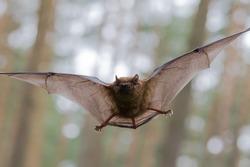Flying Bat in Forest