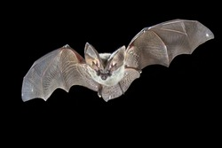 Flying bat isolated on black background. The grey long-eared bat (Plecotus austriacus) is a fairly large European bat. It has distinctive ears, long and with a distinctive fold. It hunts in woodland