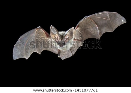 Flying bat isolated on black background. The grey long-eared bat (Plecotus austriacus) is a fairly large European bat. It has distinctive ears, long and with a distinctive fold. It hunts in woodland ストックフォト ©