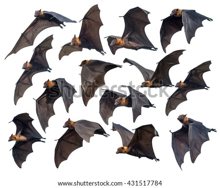 Flying bats isolated on white background, Flying Lyle\'s flying fox (Pteropus lylei)
