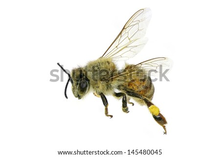 Flying bee. Isolated on white background