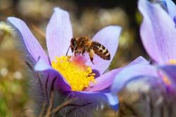 flying bee or honeybee in latin Apis Mellifera european or western honey bee pollinated blue or violet flowering flower of Pasqueflower