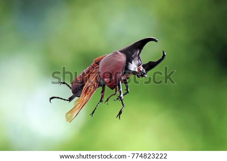 Flying beetle in nature. The Siamese rhinoceros beetle (Xylotrupes gideon) or Fighting beetles. Selective focus, blurred nature green background