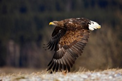 Flying big bird of prey White-tailed Eagle above meadow with open wings.