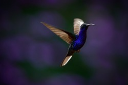 Flying big blue Hummingbird Violet Sabrewing with blurred dark violet flower in background.