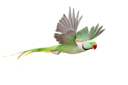 Flying big green ringed or Alexandrine parakeet (Psittacula eupatria) male, on the white background