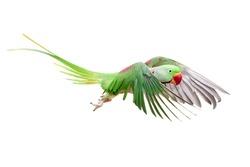 Flying big green ringed or Alexandrine parakeet (Psittacula eupatria) male, on the white background
