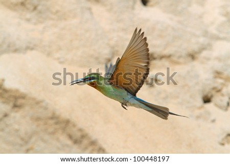 Flying Bird (Blue-tailed Bee-eater)