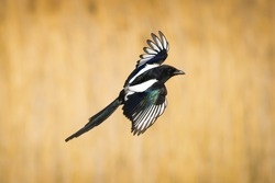Flying bird Magpie. Yellow Nature background. Eurasian Magpie. Pica pica.