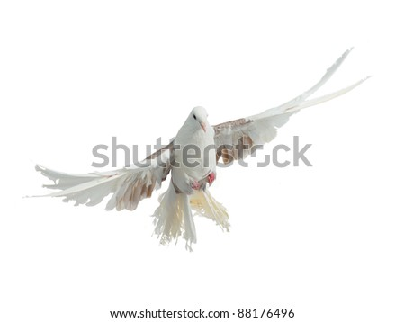 Flying bird of dove peacock breed isolated