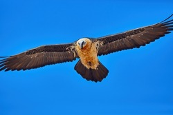 Flying bird of prey, Bearded vulture, Gypaetus barbatus or Lammergeier against blue sky. Close up, direct view. Wild bird, Spanish Pyrenees, Spain.