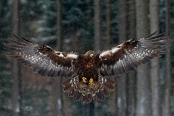 Flying bird of prey golden eagle with large wingspan, photo with snowflakes during winter, dark forest in background.