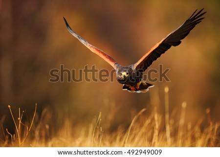 Shutterstock Flying bird of prey, Harris Hawk, Parabuteo unicinctus, above the grass.