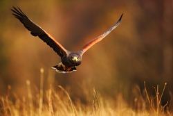 Flying bird of prey,  Harris Hawk, Parabuteo unicinctus, flying above the grass in evening light.