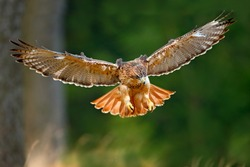 Flying bird of prey, Red-tailed hawk, Buteo jamaicensis, landing in the forest.