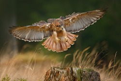 Flying bird of prey, Red-tailed hawk, Buteo jamaicensis, landing in the forest. Wildlife scene from nature. Animal in the habitat. Bird with open wings.