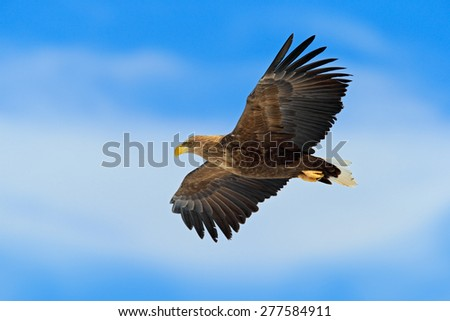 Flying bird of prey, White-tailed Eagle, Haliaeetus albicilla, with blue sky and white clouds in background