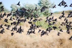 Flying birds. Silhouettes of birds. Warm color nature background. Species of birds; ordinary Starling. Sturnus Vulgaris.
