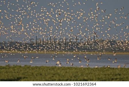 Flying Black-headed Gulls (Larus ridibundus) and Caspian Gulls (Larus cachinnans) at a fishpond, Hortobagy - Hungary