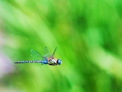 Flying blue dragonfly with green grass in the background. Closeup blue dragonfly in  flight and blurred natural background
