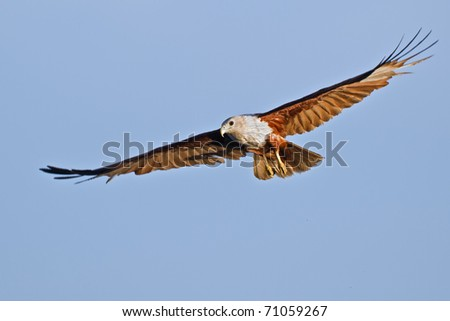 Flying Brahminy Kite at blue sky - Haliastur indus