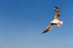 Flying Brown-headed gull with blue sky