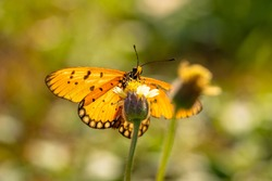 Flying butterfly collecting pollen at yellow flower. Butterfly flying over the yellow flower in blurred garden background