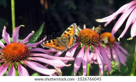 Flying butterfly next to flowers je?ówki,fioletowy,motyl,pszczo?a,nektar, Zdjęcia stock ©