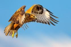 Flying buzzard. Bird of prey. Blue sky background. Isolated image.